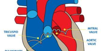 Heart-Valves-350x350
